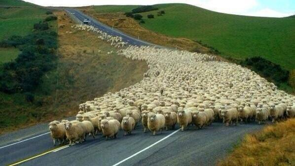 Sheep rush-hour congestion